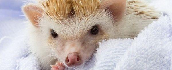 एक Hedgehog खरीदने से पहले पता करने के लिए 10 बातें