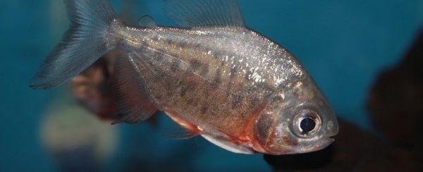 अपने मछलीघर में आक्रामकता