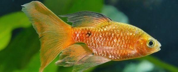 मछली में संज्ञाहरण