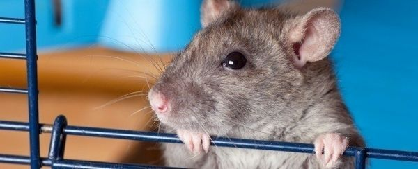 अपने चूहे की देखभाल