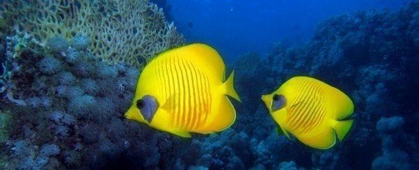 एक butterflyfish का चयन
