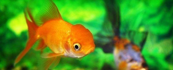 एक सुनहरी मछली का चयन