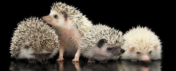 एक Hedgehog का चयन