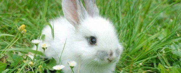 खरगोशों में दंत रोग