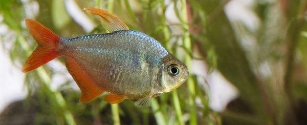 मछली सर्जरी