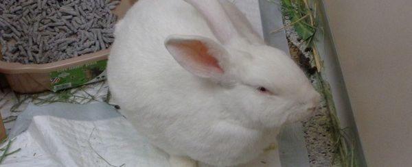 खरगोशों में गैस्ट्रिक ब्लोट