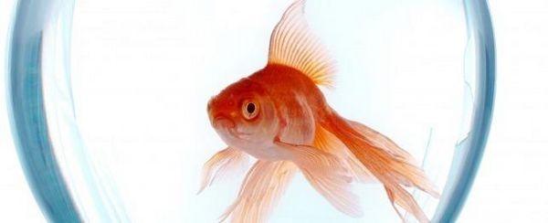 कैसे अपने मछली कटोरा की देखभाल के लिए