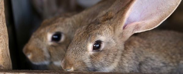 शीर्ष 10 खरगोश खतरों